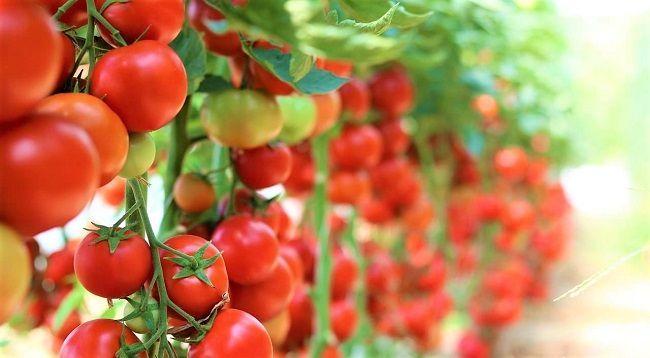 Cà chua giàu Vitamin hỗ trợ ngăn ngừa ung thư